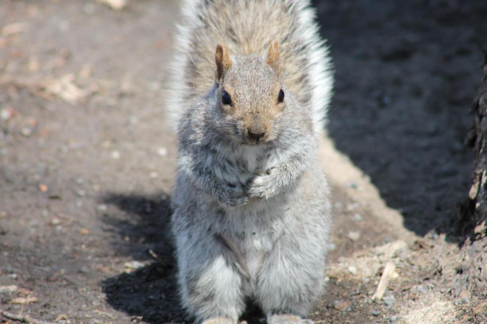 grey squirrel in Montreal