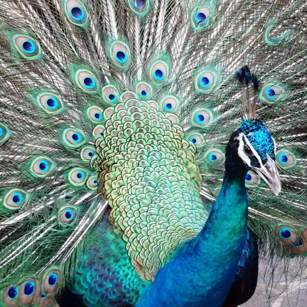 emblematic bird of India
