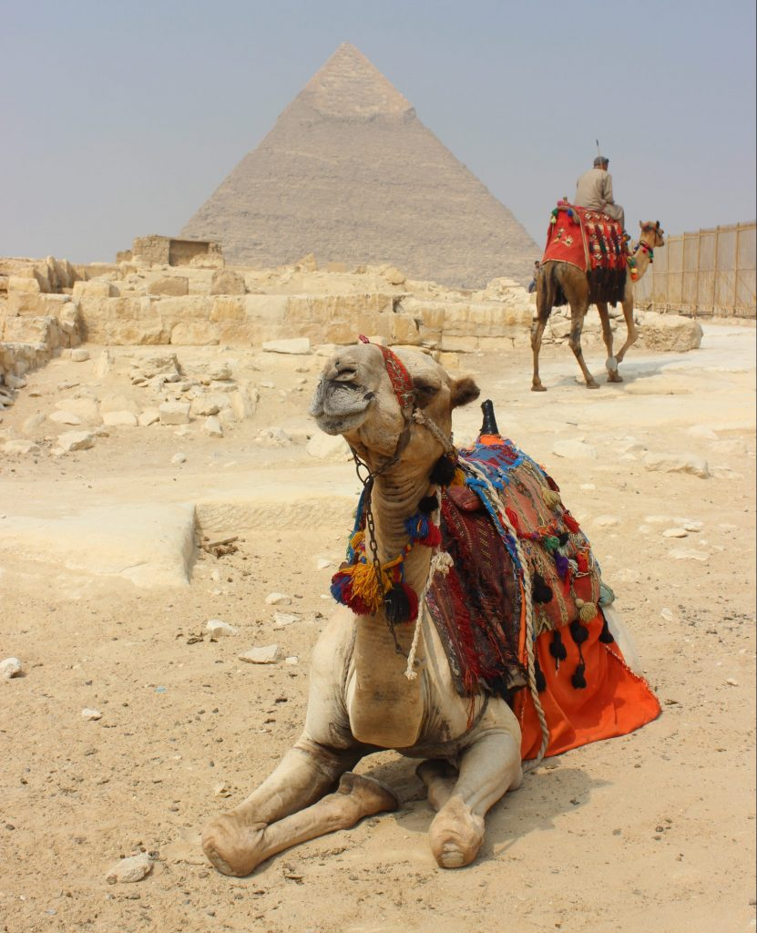 camel in front of Keops Pyramid in Giza Egypt